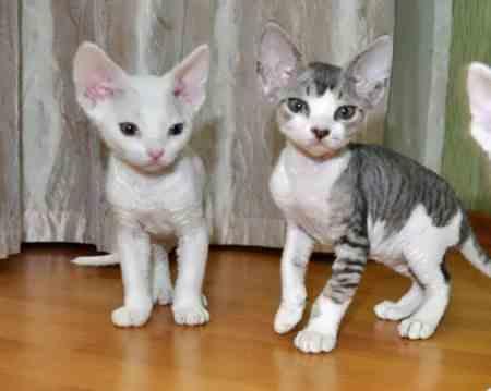 Выбор породистого котенка