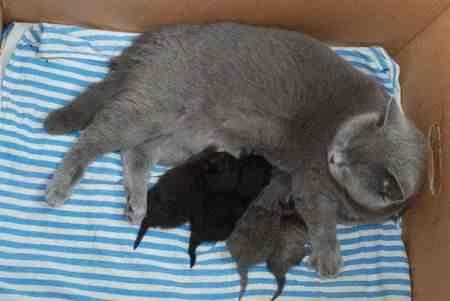 Кошачьи роды, как избежать осложнений