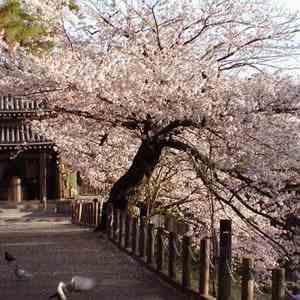 Время ханами в Японии